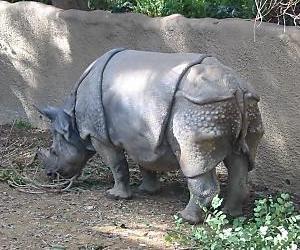 rhino ass