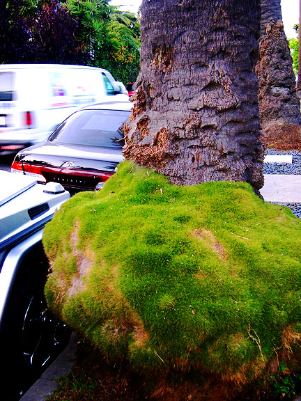 And Now, A Photo of Venetian Palm Base Moss Just Off Abbot Kinney