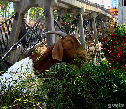 DEVELOPING: Insatiable Downtown Goats Finish Grass; Move On To Neighboring Bougainvillea