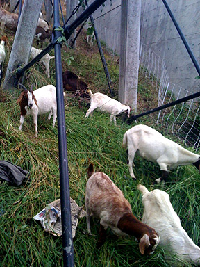 "Goats Eat Hell Out of Angels Flight Roughage; Make ""Those Goat Sounds"""
