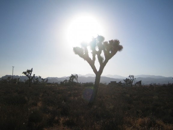 A Joshua tree in the late afternoon sun