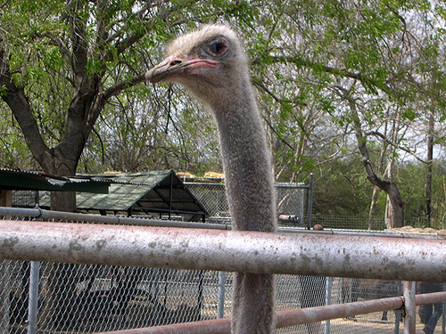 The Friday Ostrich